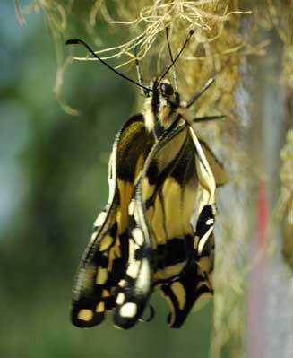 frisch geschlüpfter Schwalbenschwanz mit noch verknitterten Flügeln